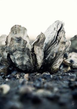 Østers blotlagt på havbunden af lebaf