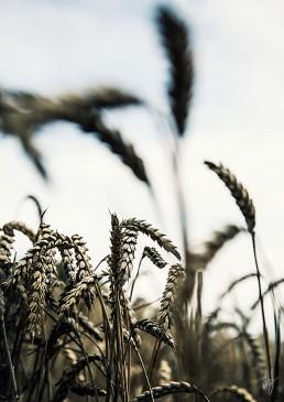 Korn i det fri på Mors af lebaf