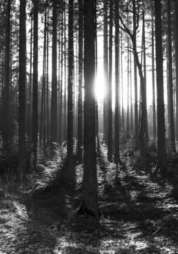 Solen mellem graner i Rold Skov af lebaf
