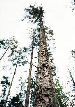 Et frøpersperktiv af en smuk gran fra rold skov, af lebaf